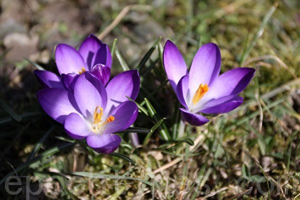 番红花(又称藏红花),是一类多年生球根植物。(张妮/大纪元)