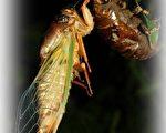 蝉蜕,是蝉(蝉科昆虫黑蚱)的幼虫变成成虫时蜕下的壳。(嘉义林管处提供)
