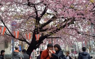 日本气象厅:东京樱花开了