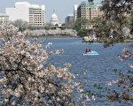 由于今年冬天气候寒冷,华盛顿特区今年的樱花盛开期晚于往年。图为2013年特区的樱花。(TIM SLOAN/AFP/Getty Images)