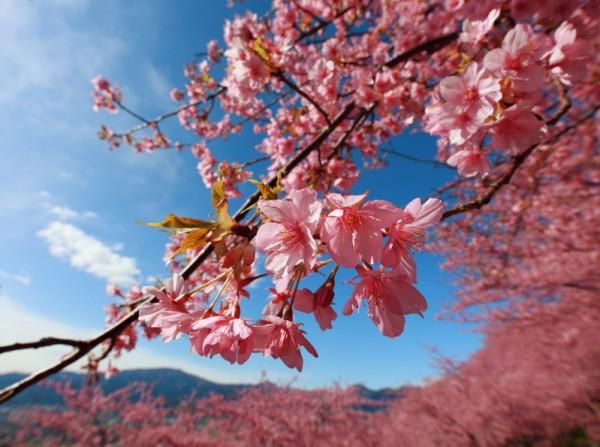 日本神奈川县松田山西平畑公园樱花盛开。 (TANAKA Juuyoh (田中十洋) /Flickr)