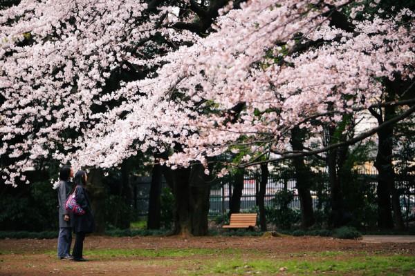 粉红色的樱花盛开,美不胜收。(mrhayata/Flickr)
