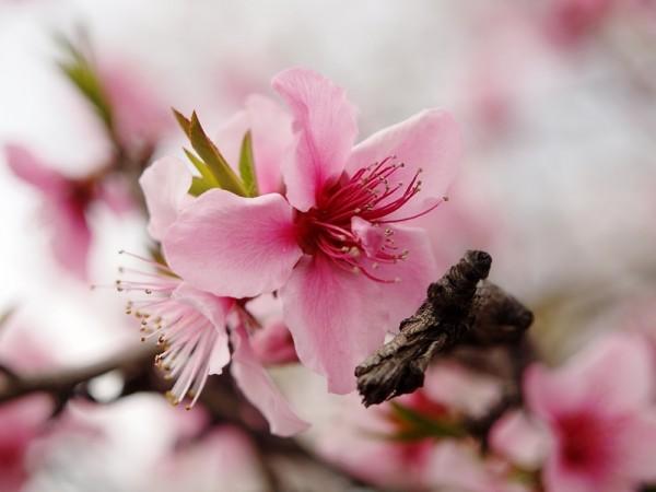 日本名古屋,枝头上的樱花盛开。(Christoph Rupprecht/Flickr)