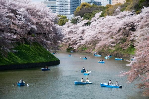日本东京千鸟之渊樱花盛开美景。kanegen/Flickr)