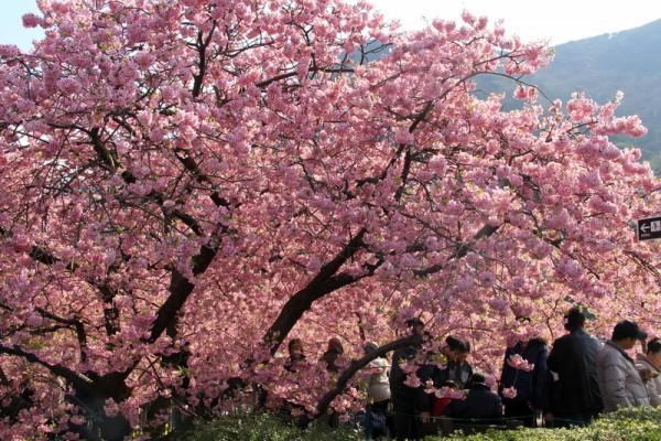 民众在樱花树下赏樱。(Shiv/Flickr)