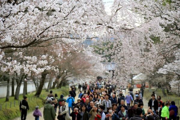 日本京都樱花盛开的美景。(Norio NAKAYAMA/Flickr)