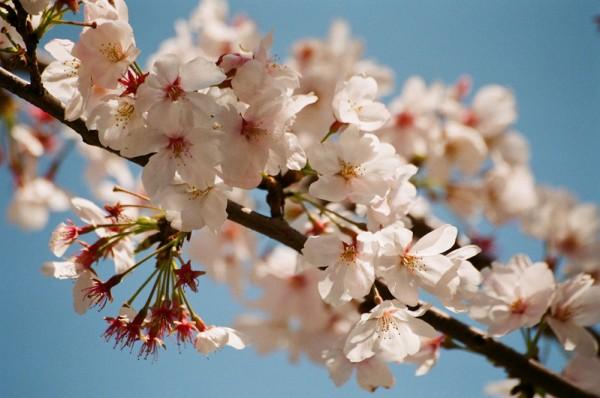 日本桥室町的樱花盛开。(bryan/Flickr)