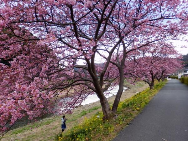 日本河津川畔的河津樱盛开。(Izu navi/Flickr)
