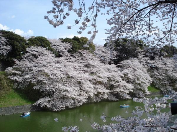 日本东京皇宫樱花盛开。(Tyoron2/维基百科)