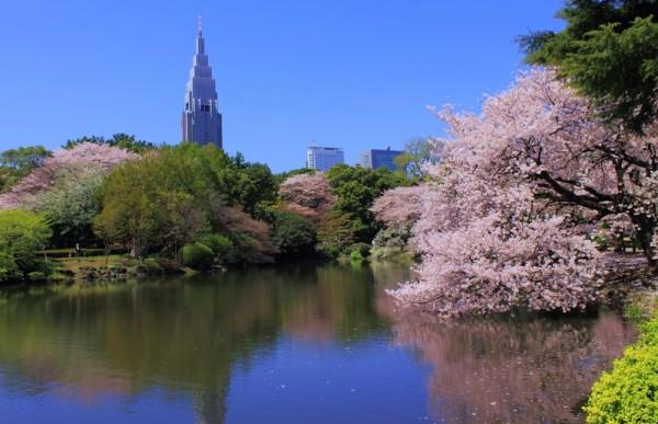 东京新宿御苑樱花盛开。(Kakidai/维基百科)