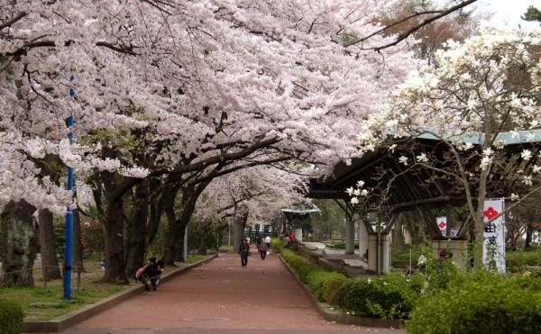 东京神代植物公园樱花盛开。 (Kimon Berlin/维基百科)