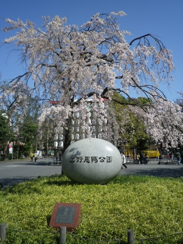 东京上野恩赐公园樱花盛开。(维基百科)