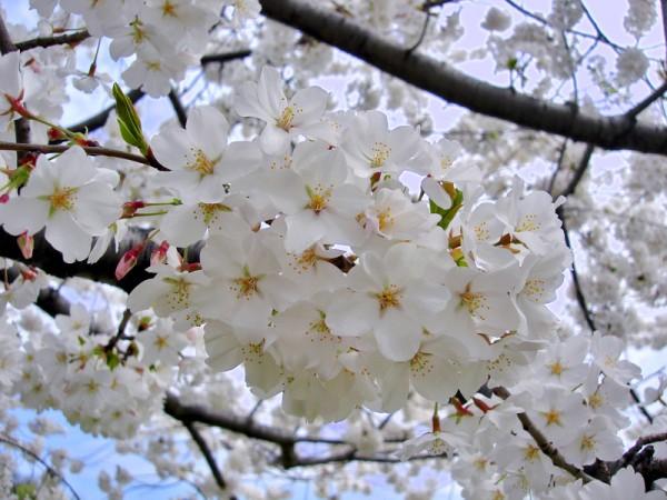 日本关东地区伊豆半岛赏樱。(Slick-o-bot/维基百科)
