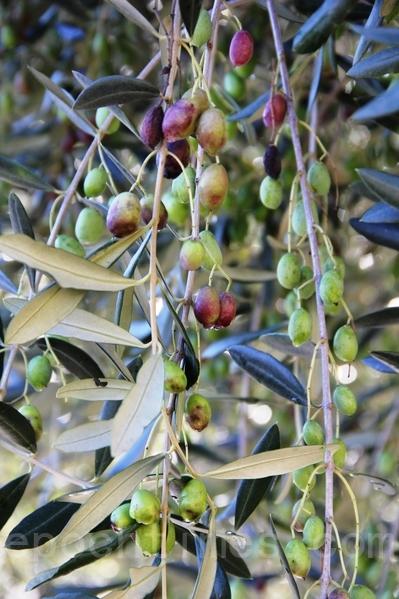 新鲜橄榄(国际橄榄油品油师 吕昇财ALEX LU/大纪元)
