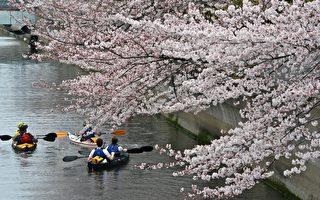 组图:东京樱花满开 人潮络绎不绝