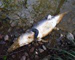 希腊官员30日说,一只神秘现踪于一座湖泊,成为克里特岛观光景点的吃人鳄鱼,日前已经死亡,原因可能是受冻。(AFP)
