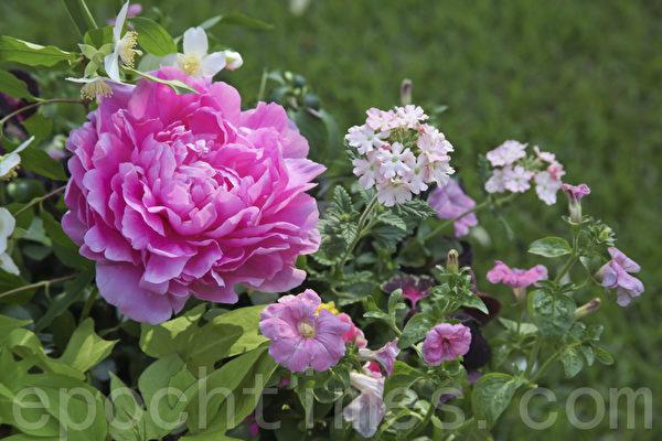 """谷雨前后也是牡丹花开的重要时段,因此,牡丹花也被称为""""谷雨花""""。""""谷雨三朝看牡丹"""",赏牡丹成为人们闲暇重要的娱乐活动。(Fotolia)"""