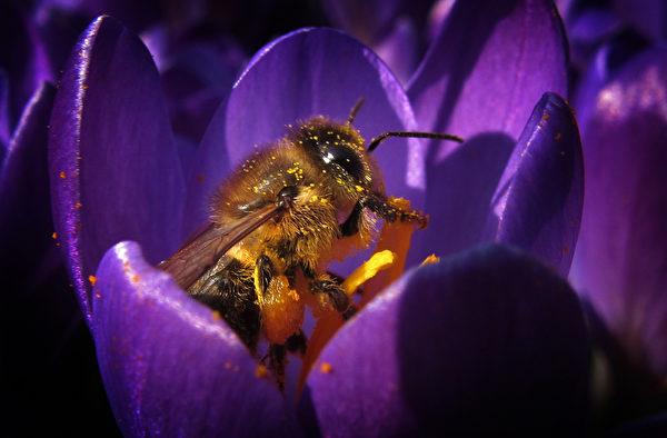 花心的幸福。----3月15日,在德国南部Kaufbeuren,蜜蜂采集从盛开的花中采集花粉。(KARL-JOSEF HILDENBRAND/AFP)