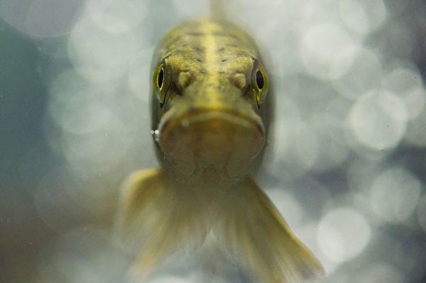 """""""别惹我,我超严肃,很容易火大。""""----3月27日,德国东部爱尔福特一个博览会上,一只梭鱼的泳姿。(SEBASTIAN KAHNERT/AFP)"""