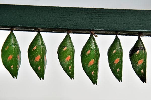 向前看齐!----3月31日,英国自然历史博物馆的户外展览,一群叠蛹悬挂着。(BEN STANSALLBEN STANSALL/AFP)