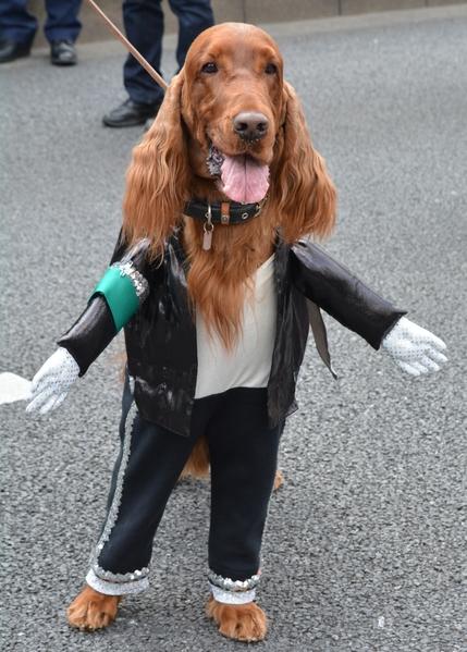 """""""还好只是穿上衣服,没叫我拿麦克风发言。""""----3月15日,一只爱尔兰雪达犬穿着像迈克尔·杰克逊的服装,在东京圣帕特里克节游行,当天有超过1000人参加了游行。(KAZUHIRO NOGI/AFP)"""