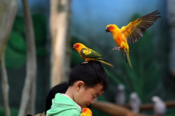 """""""快点!开演了!晚了就没座位了!""""----3月21日,中国云南,昆明动物园的鹦鹉站在孩子的头上。(AFP)"""