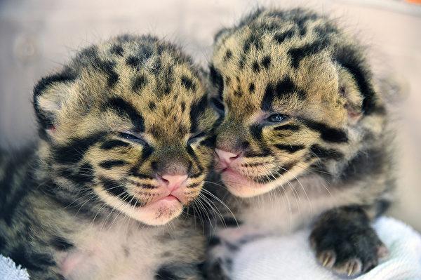 仅有的好姐妹。----2015年3月30日,美国佛罗里达州两只濒临灭绝的幼母云豹,出生于3月9日。(AFP)