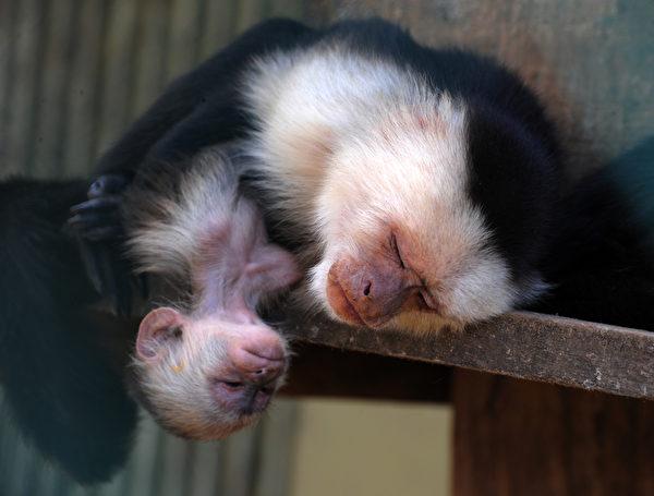 """""""终于哄睡了,当妈真累!""""----3月6日,在萨尔瓦多皮卡乔保护区玫瑰瓦尔特动物园,母白面猴在幼崽旁边打瞌睡。(Orlando SIERRA/AFP)"""