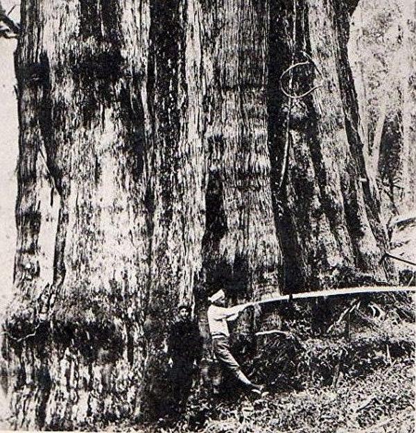 阿里山林場伐木作業。 (圖片提供:tony)