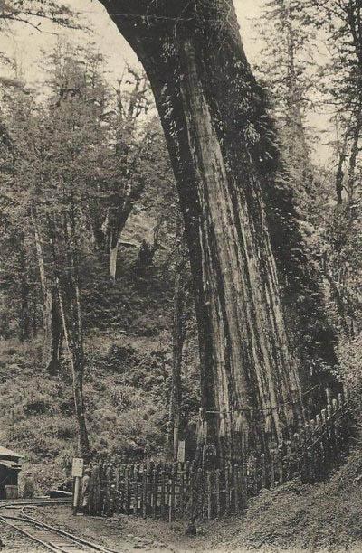 阿里山神木(圖片提供:tony)