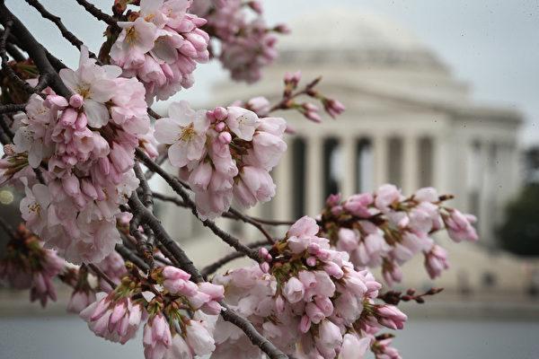 2015年4月8日在华盛顿特区樱花盛开,美不胜收。 (Alex Wong/Getty Images)