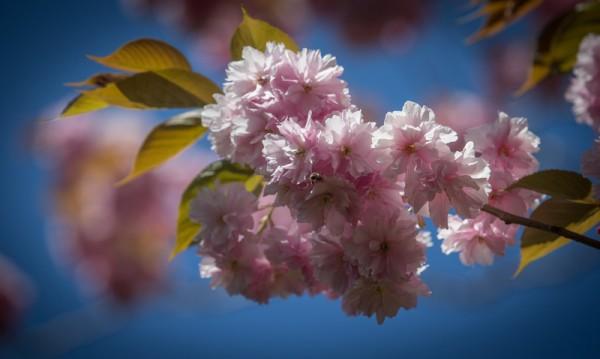 2015年4月22日,英国布兰登公园繁花盛开,美不胜收。(Matt Cardy/Getty Images)