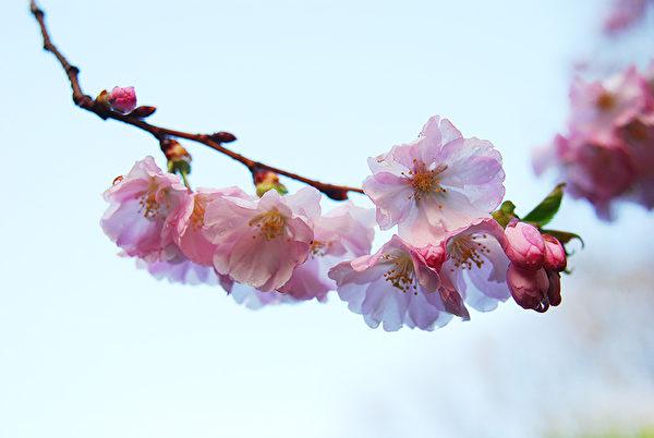 美国新泽西州纽瓦克溪流公园樱花盛开。(谢凌/大纪元)