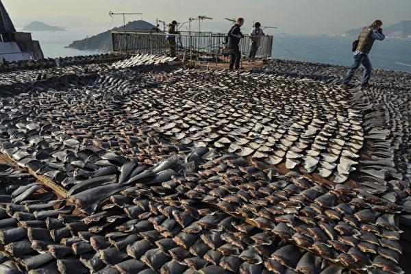 走私1.3萬磅魚翅到香港 加州華人被捕