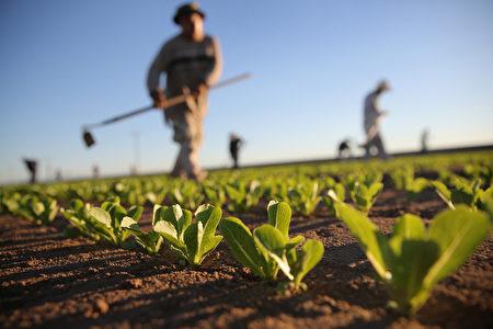 """面对水资源日益减少,加州各行业都在""""用心""""节水,谋求长期发展。图为美国加州豪特维尔的一家农场。(John Moore/Getty Images)"""