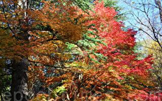 聆听秋风刮着枫叶沙沙声,感受这份世外的秋色。(华苜/大纪元)