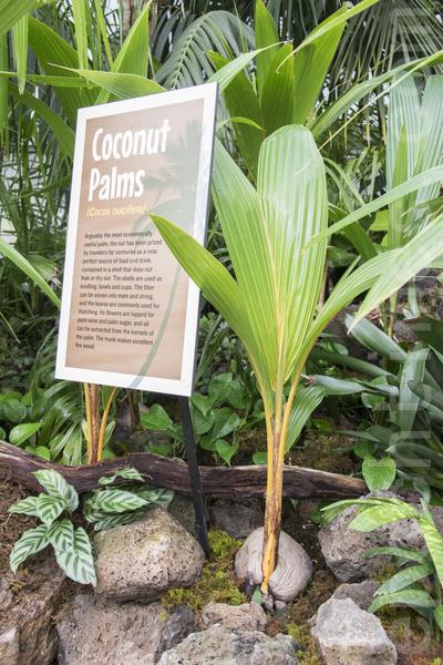 """2015年5月8日开始,旧金山金门公园温室花房开始了""""荒岛""""植物展。图为椰树苗。(杨帆/大纪元)"""