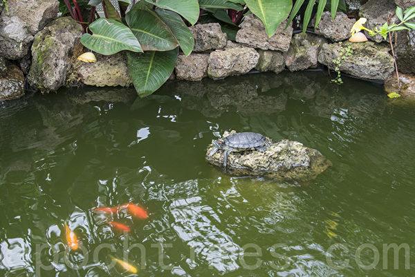 """2015年5月8日开始,旧金山金门公园温室花房开始了""""荒岛""""植物展。图为温室中的池塘中有乌龟和锦鲤。(杨帆/大纪元)"""