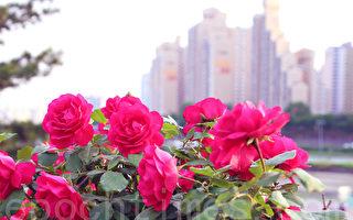 首尔中浪川岸边玫瑰盛开。(全宇/大纪元)
