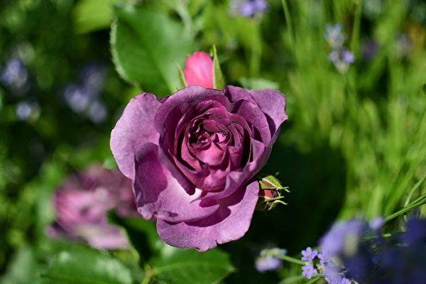 里昂市政府广场上的玫瑰花。(石一/大纪元)