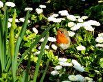 相传英国人对知更鸟情有独钟。维多利亚时期,他们到哪里都会把当地和知更鸟相似的鸟儿叫作知更鸟。对他们而言,知更鸟是一种乡思,意味着花园、家园和母国。(Pixabay)