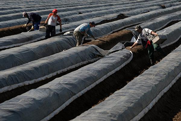 圖為採收蘆筍的臨時工。(Ralph Orlowski/Getty Images)