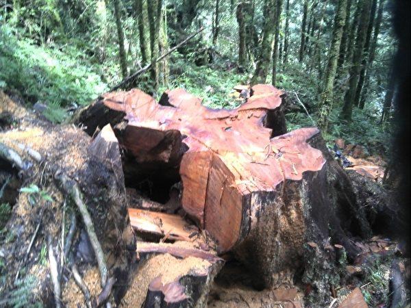 千年神木被害現場。(羅東林管處提供)