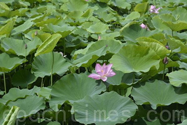 盛開的蓮花有如少女燦爛的笑顏,含苞待放的荷花也帶有幾許嬌羞的神情。(賴瑞/大紀元)