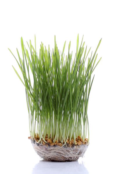 小麦幼苗。(Fotolia)