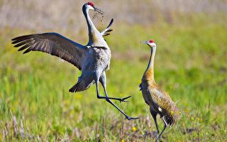 佛州墨西哥灣海岸附近的海馬礁島一直是著名的鳥類棲息地,可是今年5月,所有的鳥類全部飛離該島,留下的是樹上空空的鳥巢和破碎遍地的鳥蛋。(Mark Zou/大紀元)