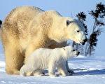 北极熊受到与全球暖化有关的北极海冰融化威胁,数量持续减少。图为北极熊宝宝和妈妈破雪而出、亲密互动的超萌画面。(朱建铭提供)