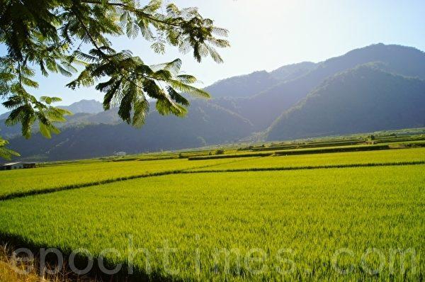 水稻田的美景之中,蕴含无穷的生命奥秘。(詹亦菱/大纪元)