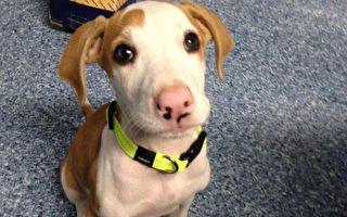 被石头猛砸的十只小狗中唯一幸存者Lucky,终于跟新主人回家了。(RSPCA提供)