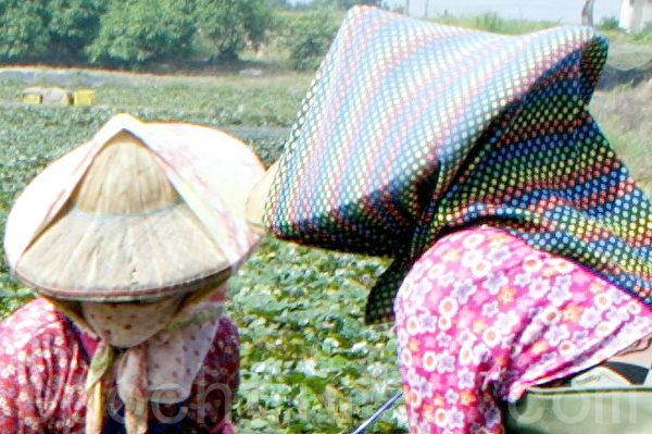 農婦包頭巾、戴斗笠、再包覆上布巾,營造多層空氣層隔熱,能夠較輕鬆地在烈日下採收菱角。(賴友容/大紀元)